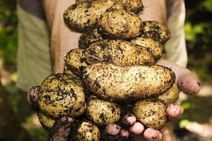 The Humble Potato is Still Part of a Healthy Diet in 2021.