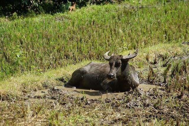 Carabao in the mud in the Philippines
