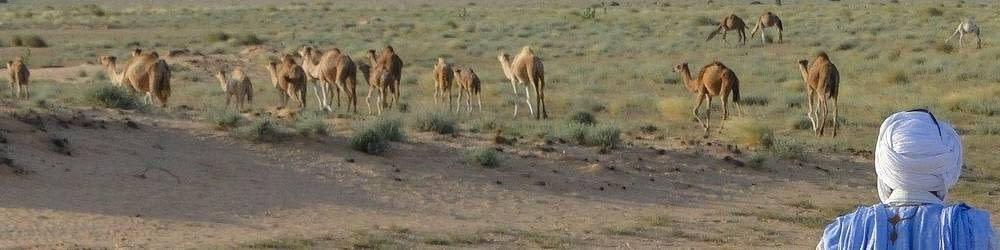 Desert camels and a Arab herder
