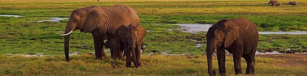Elephants on the plains in Kenya