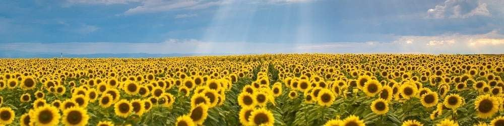 Romanian field of sunflowers