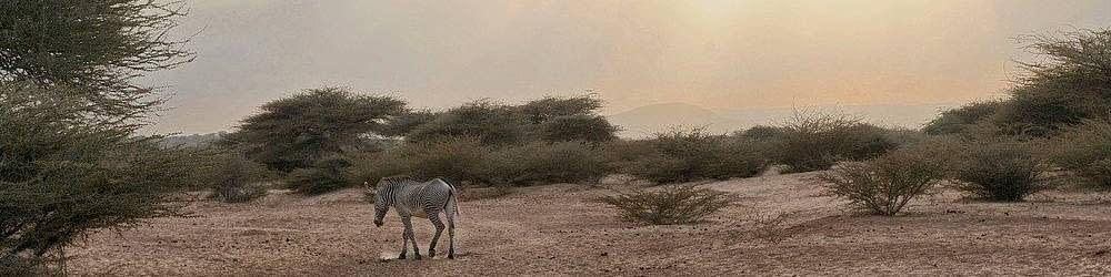 Zebra foraging for food in Djibouti